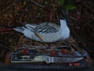 Imperial Schrade DUCKS UNLIMITED PINTAIL - DU3LTD